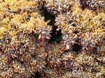 Echeveria cultivar